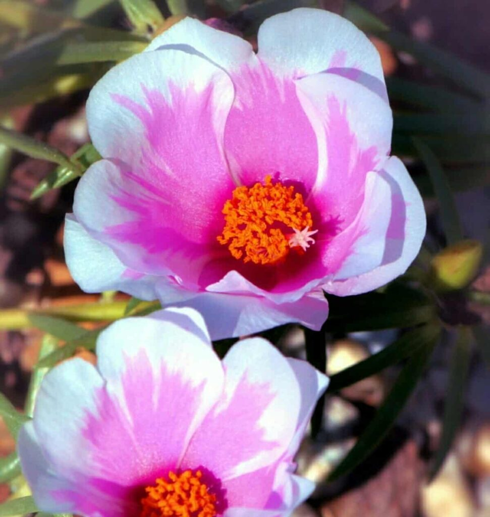 rainy season flowers in india,Moss-rose-flower-images