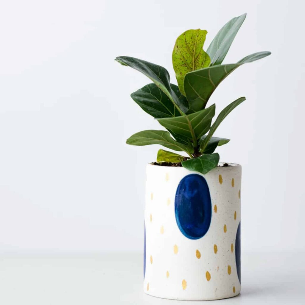 air purifying indoor plants india,fiddle leaf fig
