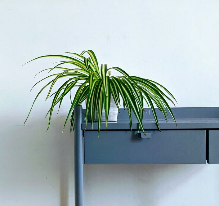 air purifying indoor plants with names,spider plant