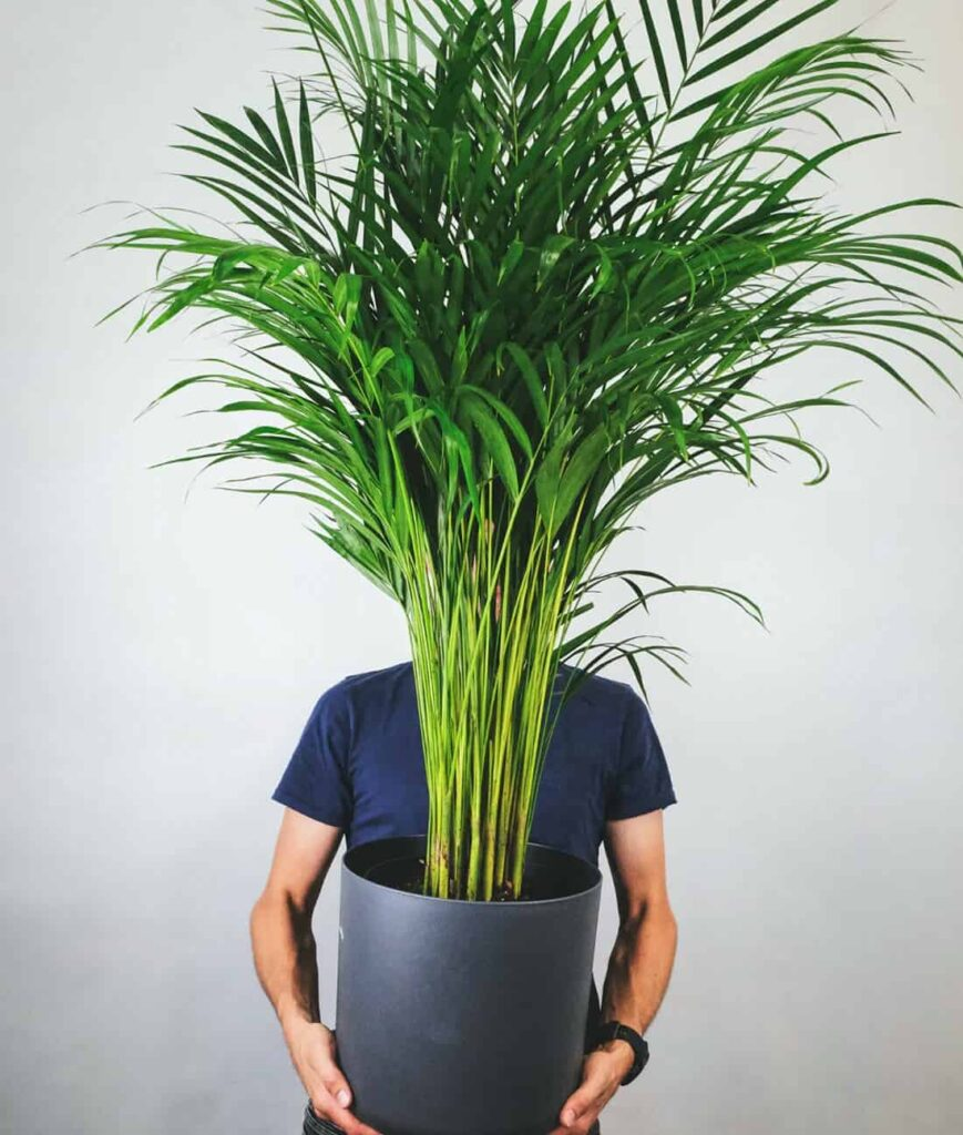 air purifying plants in india,areca plants