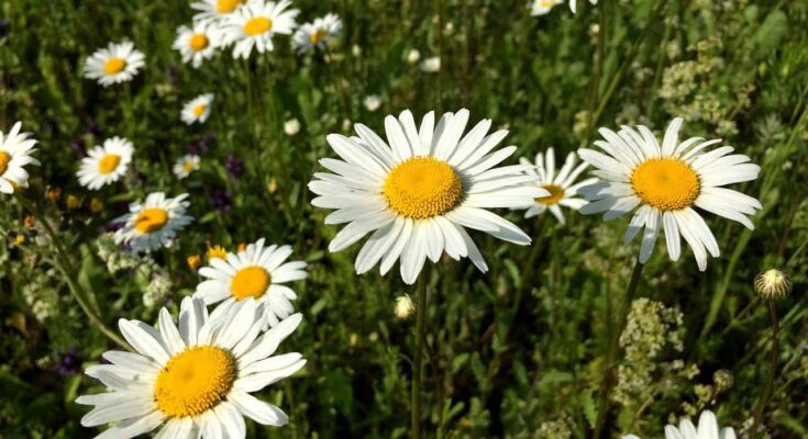 chamomile-flower-list-of-edible-flowers