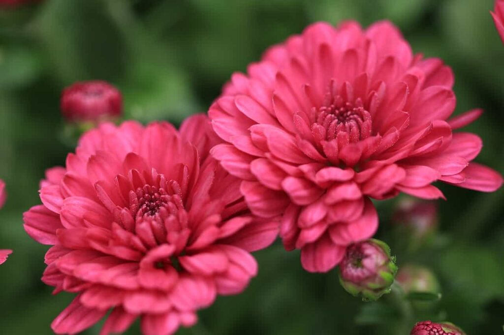 chrysanthemum-flower-365-days-flowering-plants-in-india