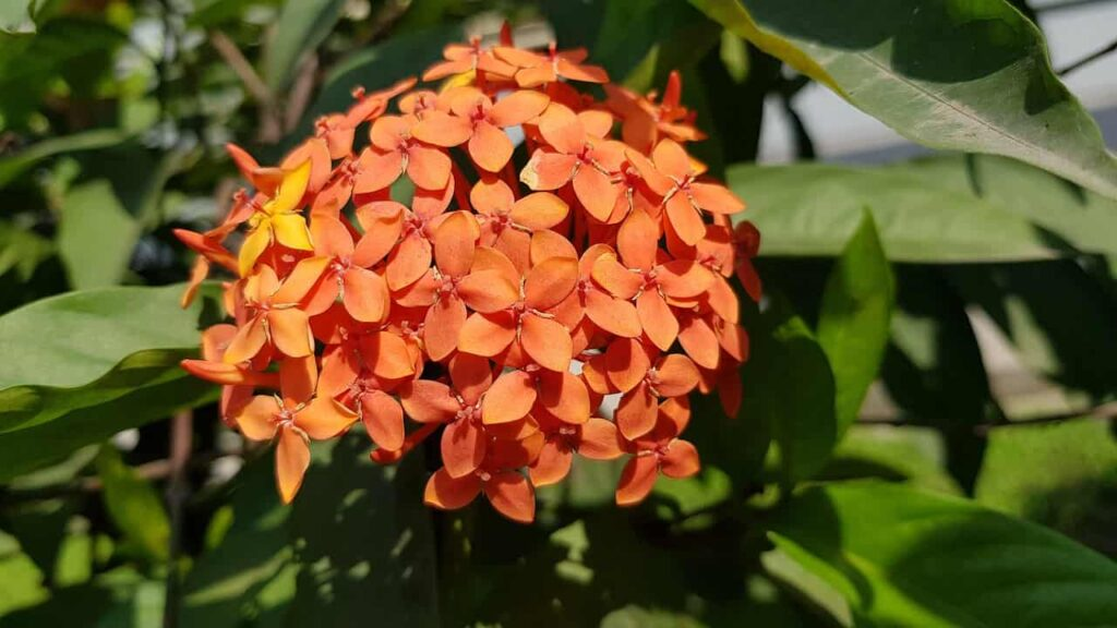dwarf-ixora-whole-year-flowering-plants-in-india