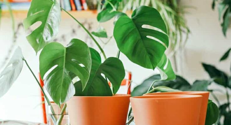indoor air purifying plants india,monstera plants
