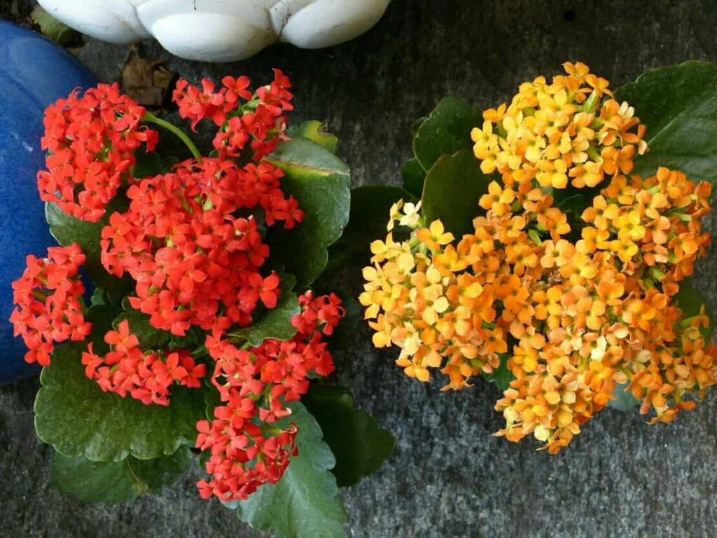 list-of-winter-flowers-in-india-kalanchoe