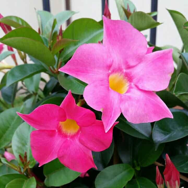 mandevilla-flower-12-months-flowering-plants-in-india
