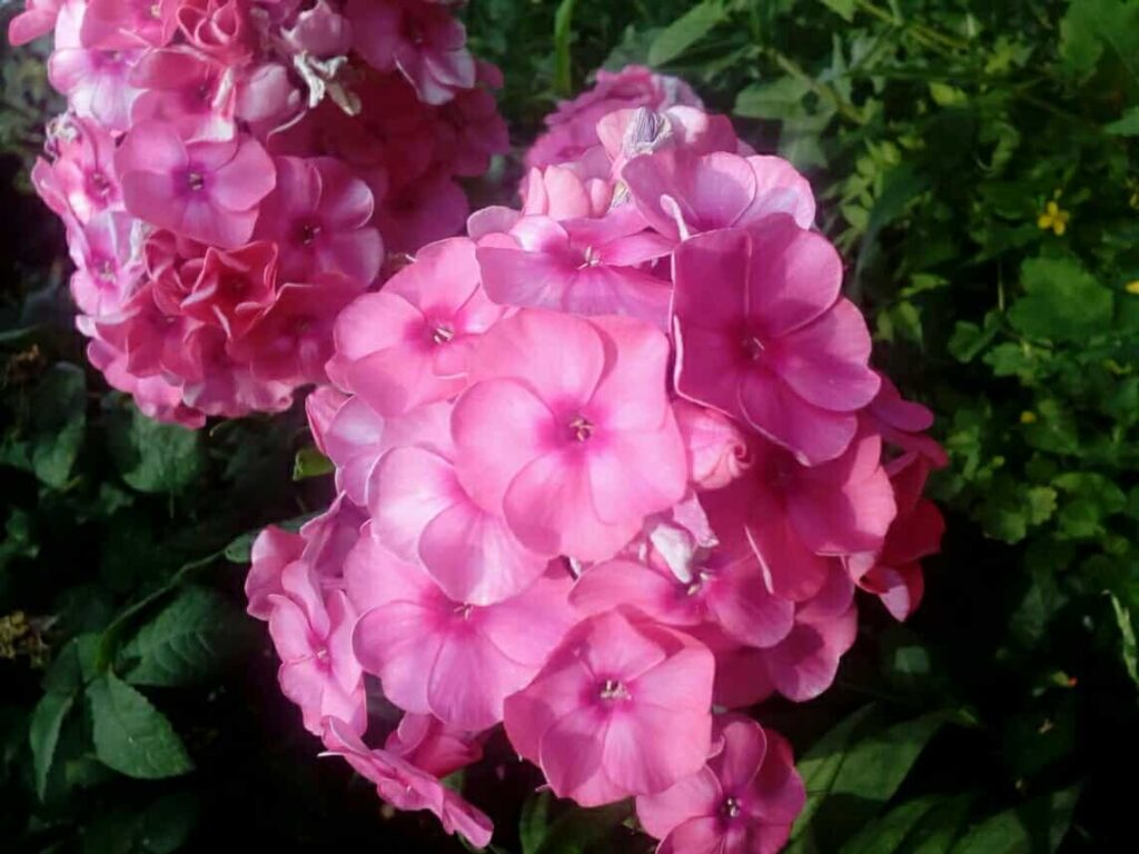 phlox-winter-flowers-of-india