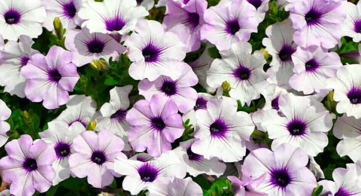 winter-flowers-in-india-petunia-flower