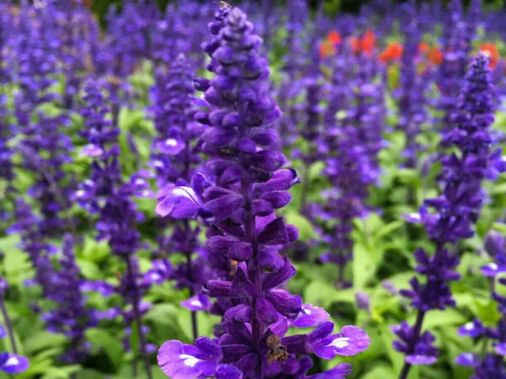 winter-flowers-in-india-with-name-salvia-flower
