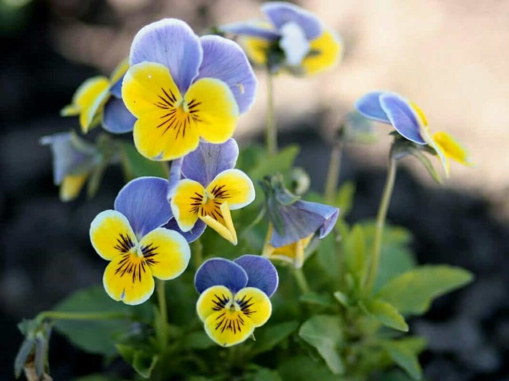 winter-flowers-india-pansy-flower