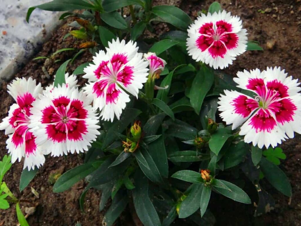 winter-flowers-name-dianthus-flower