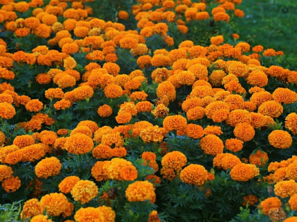 winter-season-flowers-in-india-with-name-marigold