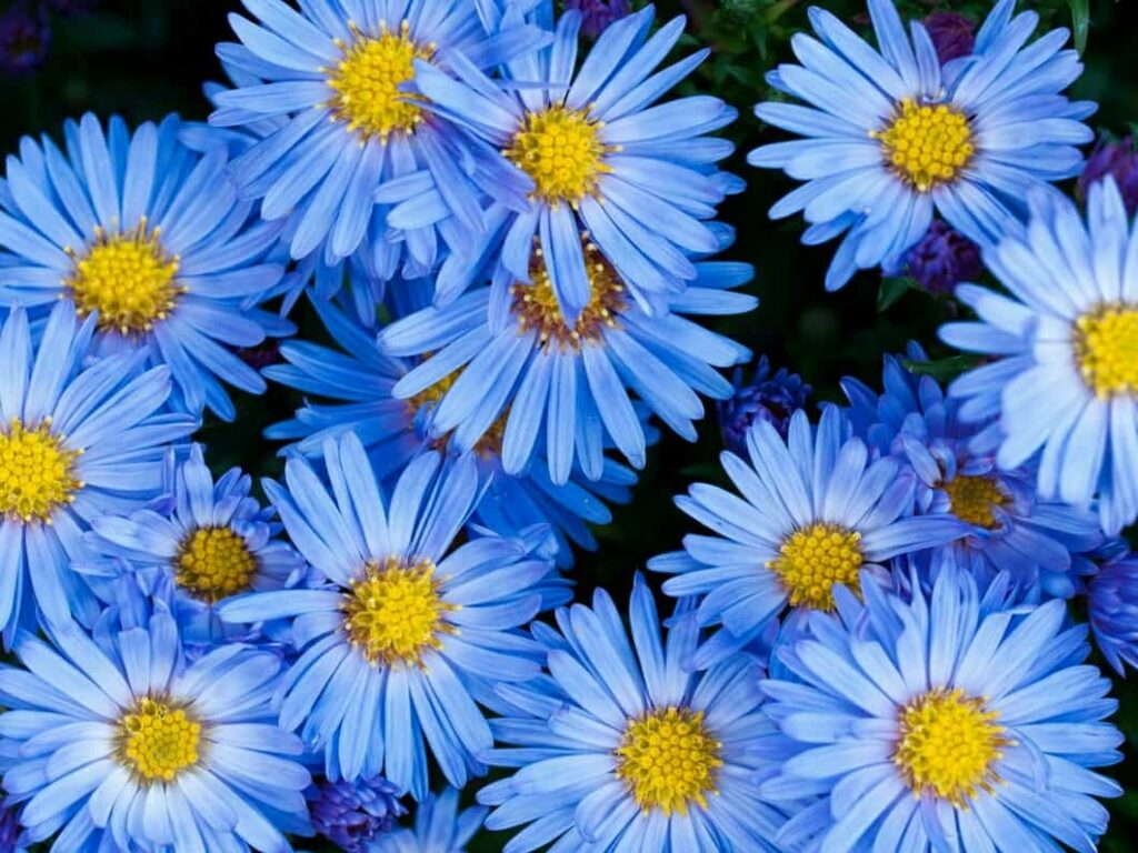 winter-season-flowers-name-list-in-india-aster