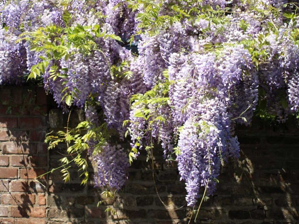 best creepers for balcony india,lavender plant