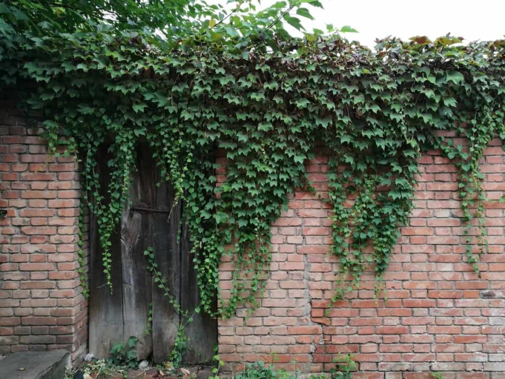 creeper-flowering-plants-in-india-english-ivy