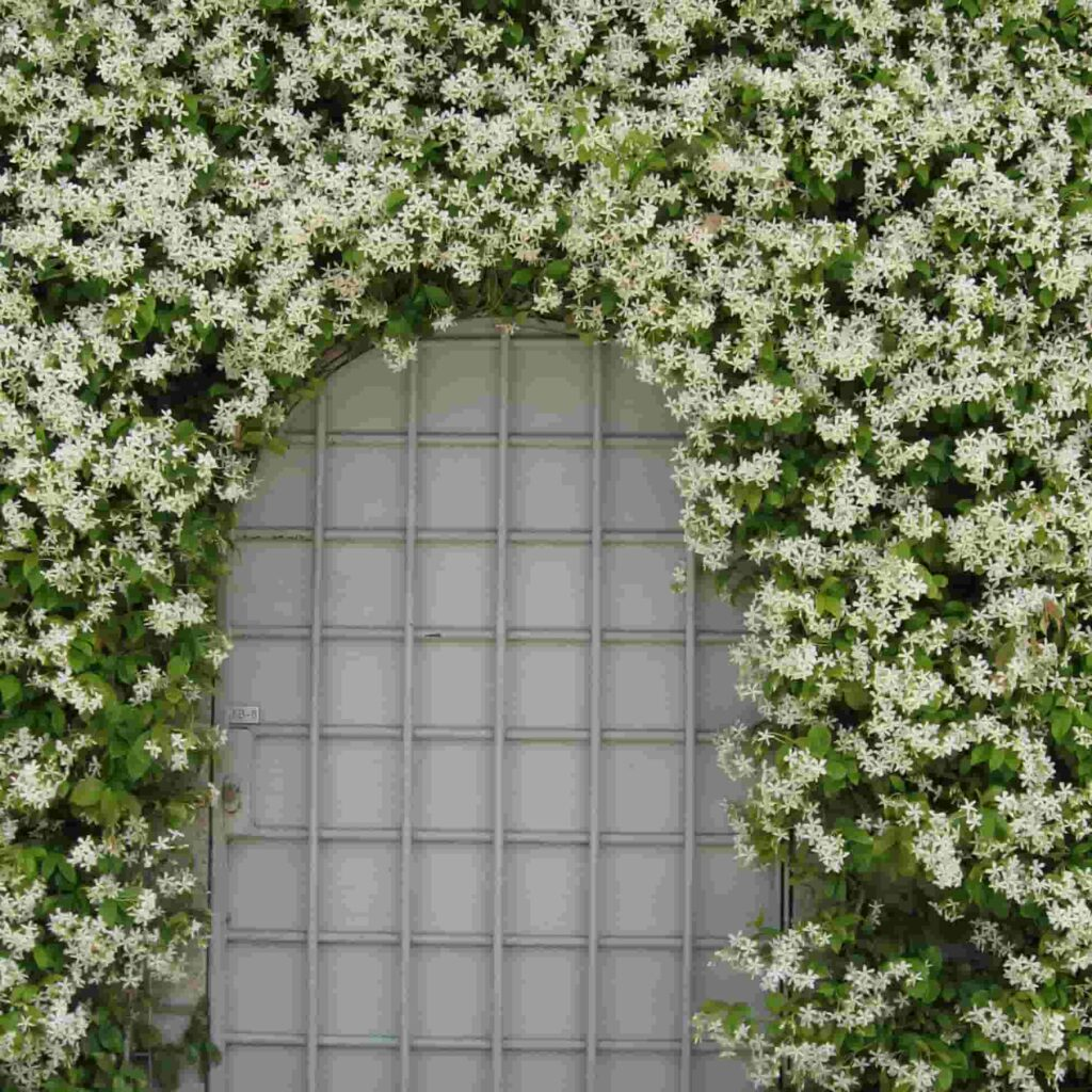 fastest growing creeper plant in india,star jasmine