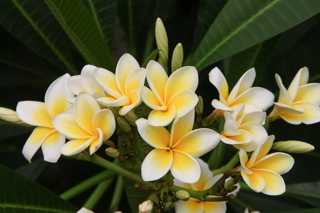 fragrant flowers in india
