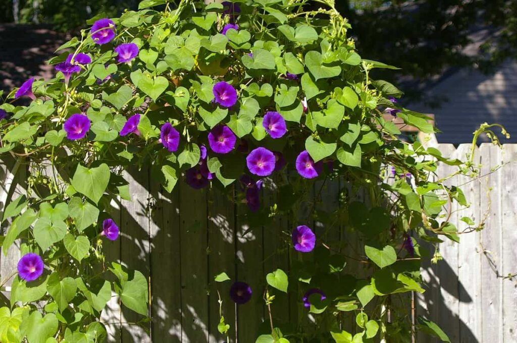list of creeper plants,morning glory flower
