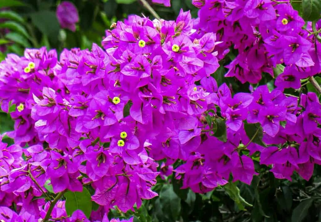 list-of-summer-flowers-in-india-bougainvillea