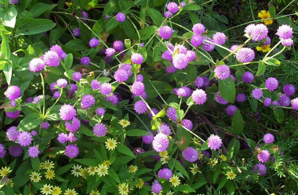 list-of-summer-flowers-in-india-gomphrena