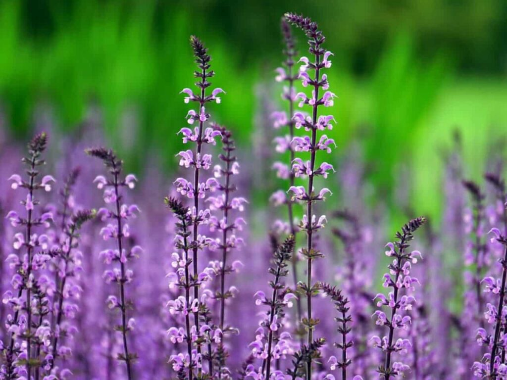most fragrant flowers in india,lavender