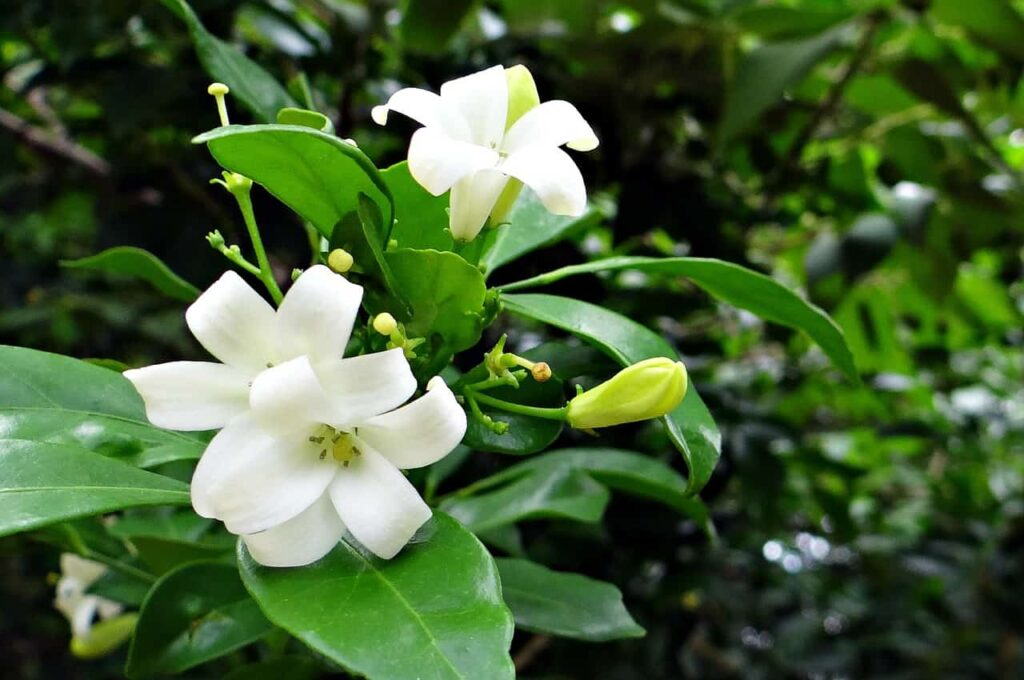 small plant with fragrant flowers,kamini flower