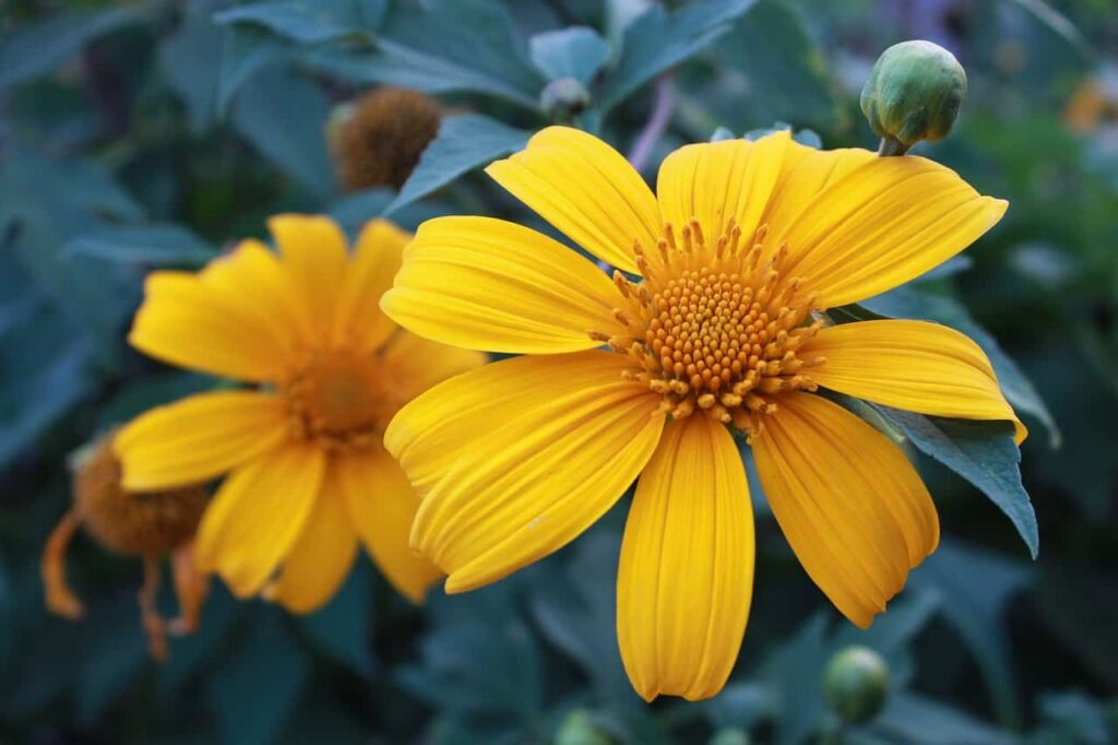 summer flowers in india with name,tithonia