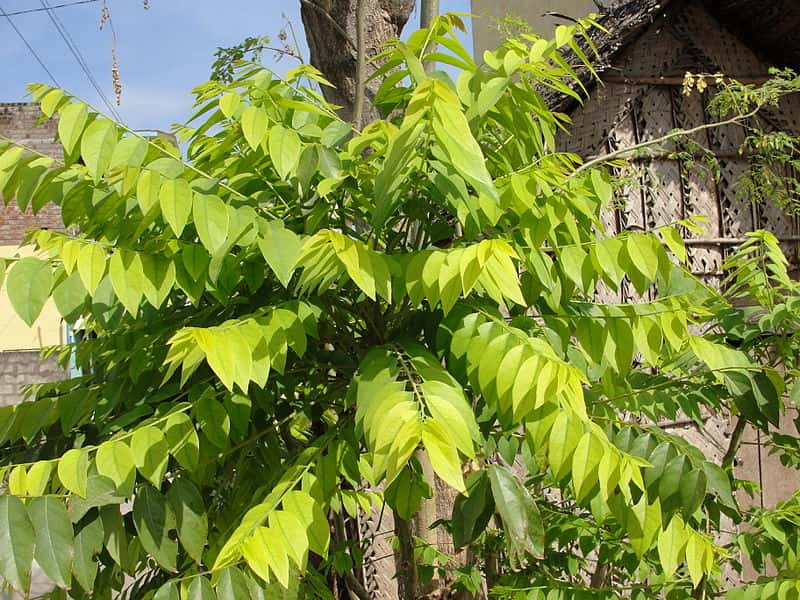 best fast growing trees for small gardens,amla trees