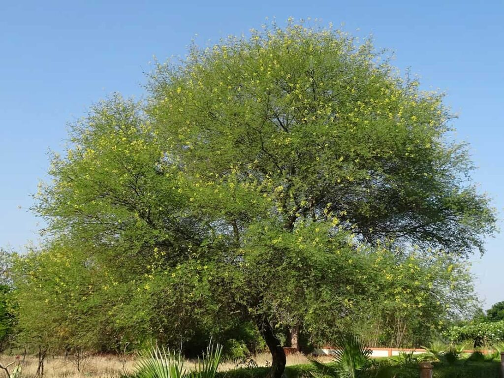 fastest growing trees in india,babool tree