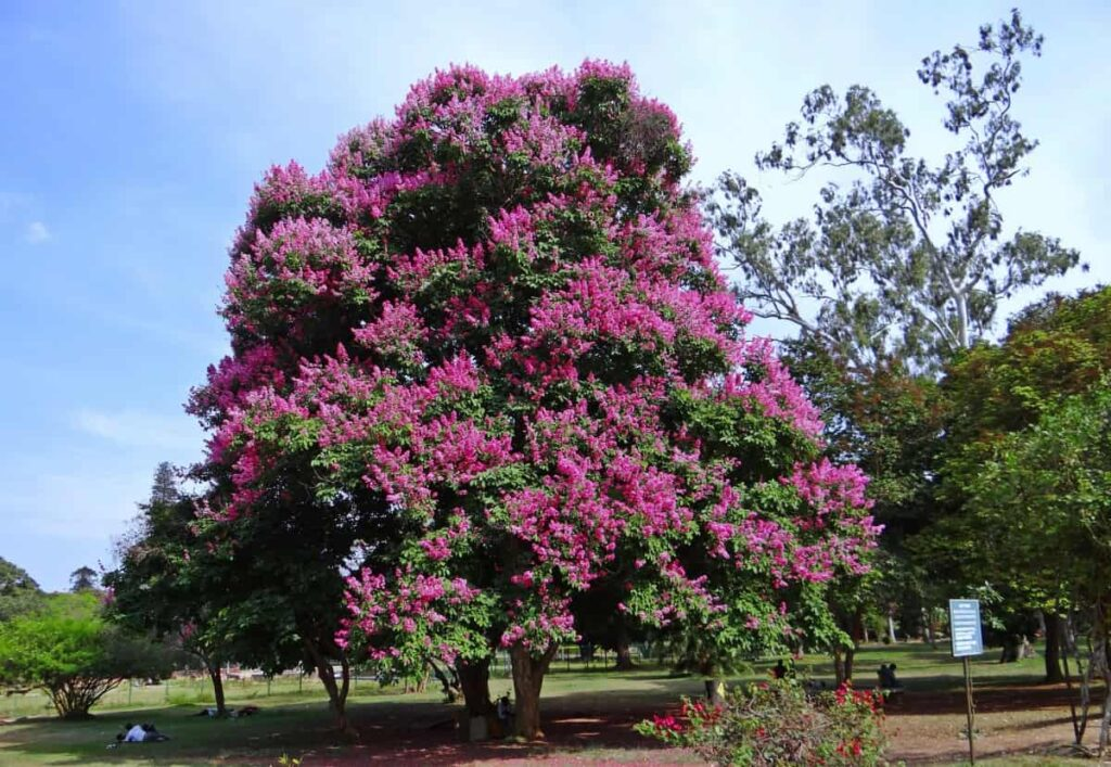 flower trees in india,pride of india