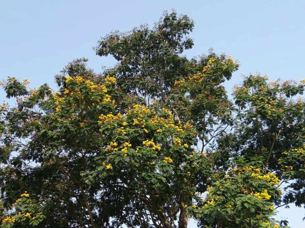 flowering trees of india,yellow flame