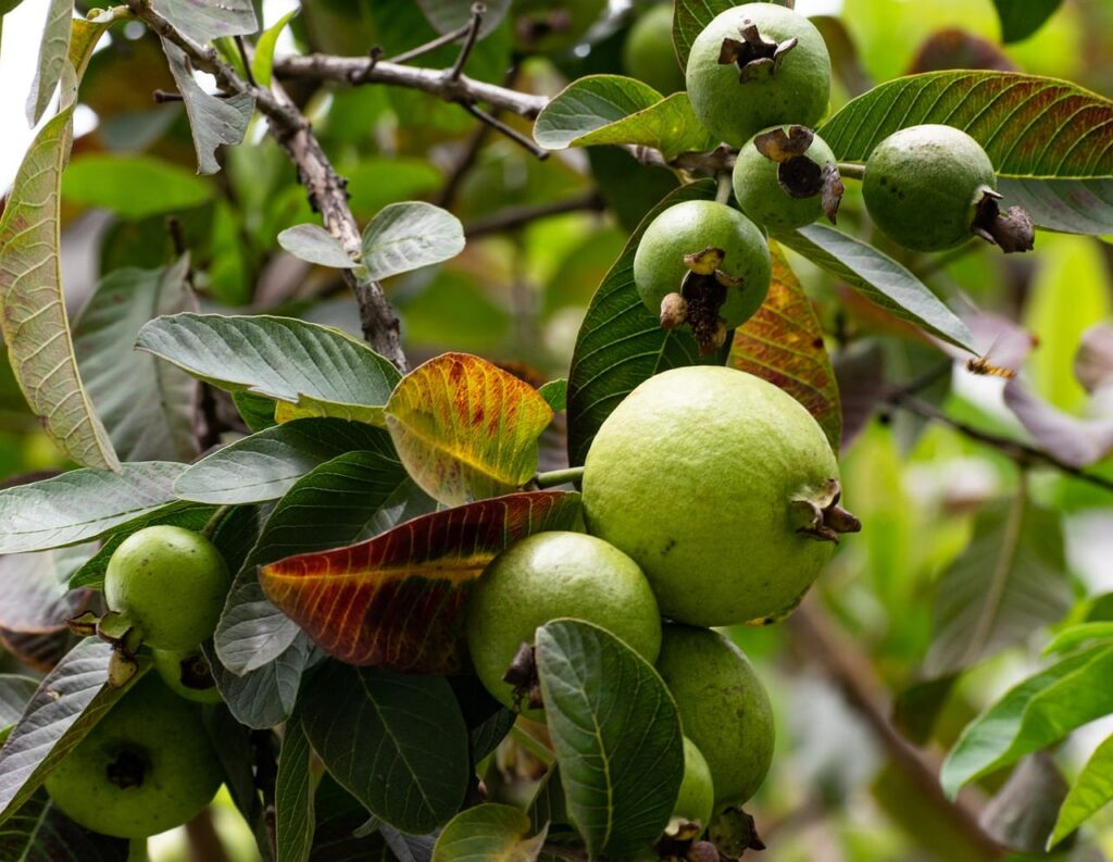 list of fast growing trees in india,guava plant
