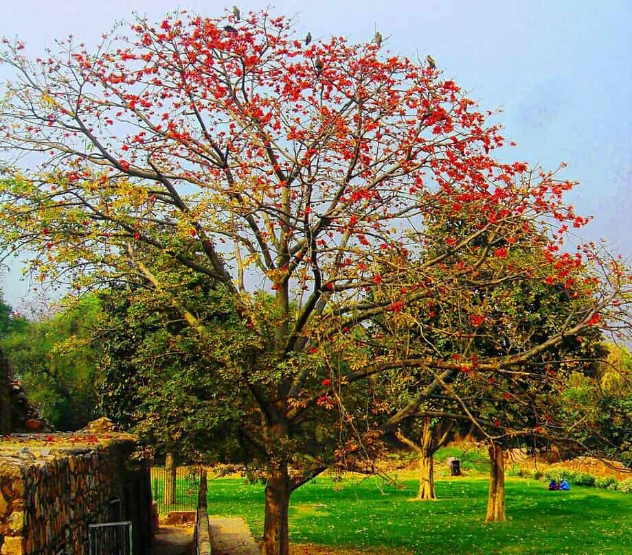 list of flowering trees with pictures,silk cotton tree
