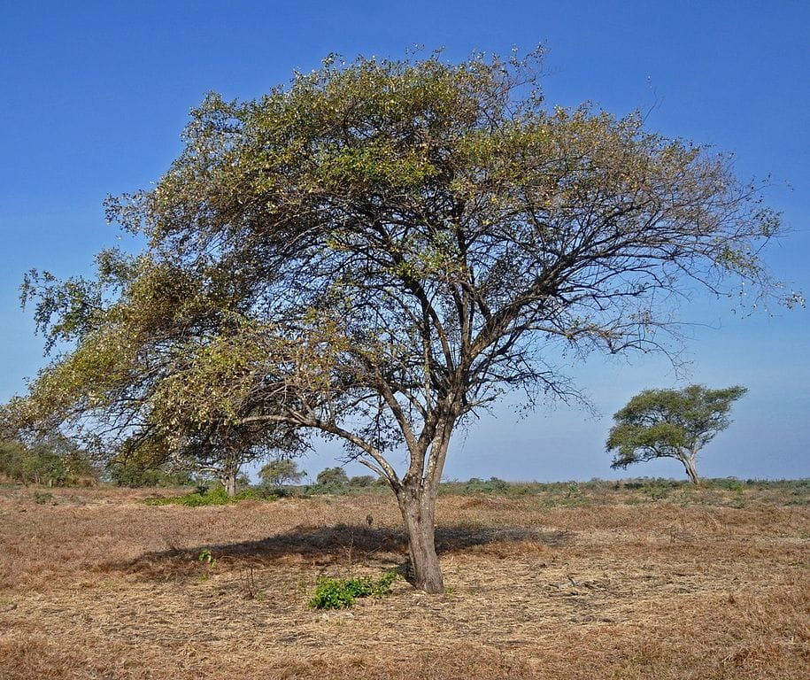 quick growing trees in india,ber tree