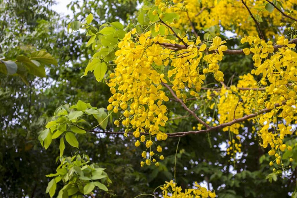 yellow flower tree names in india,golden shower tree