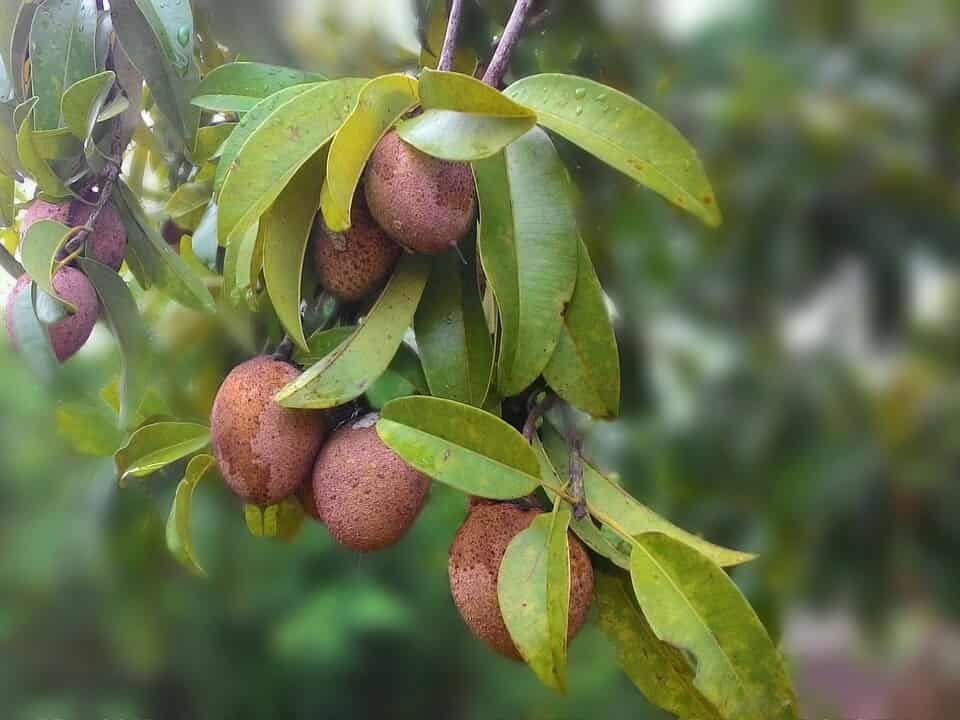 evergreen fruit trees in india
