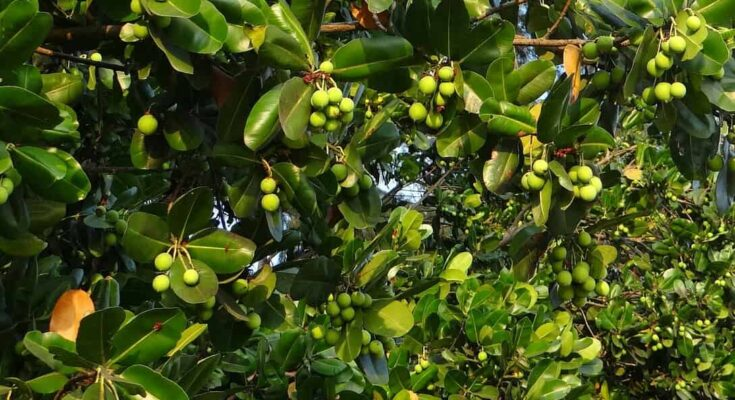 evergreen trees in india