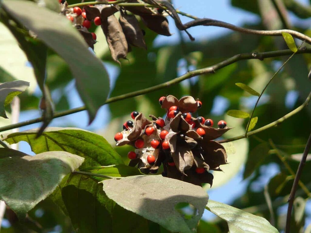 most poisonous plant in india