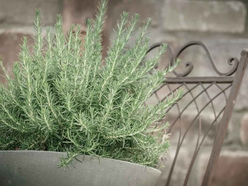 perennial plants that repel mosquitoes