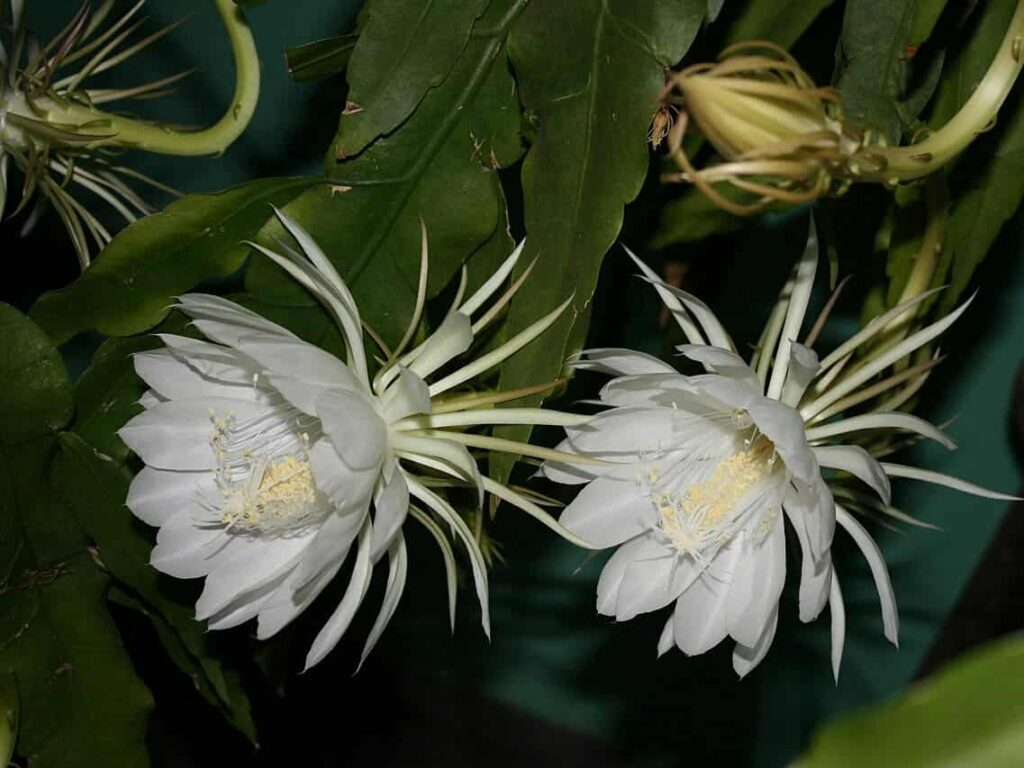 white flowers that bloom at night