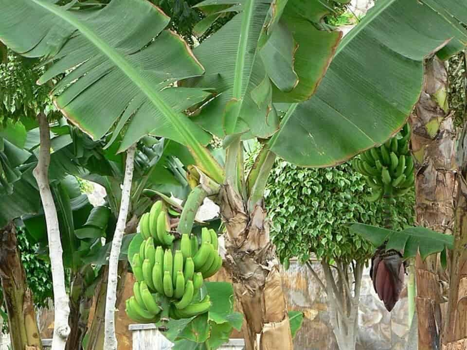 fruit trees in india