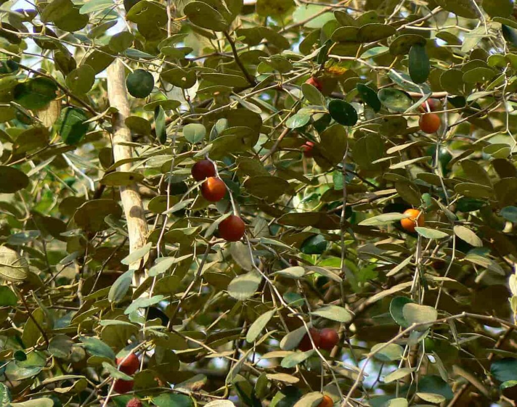 fast growing fruit trees in indi