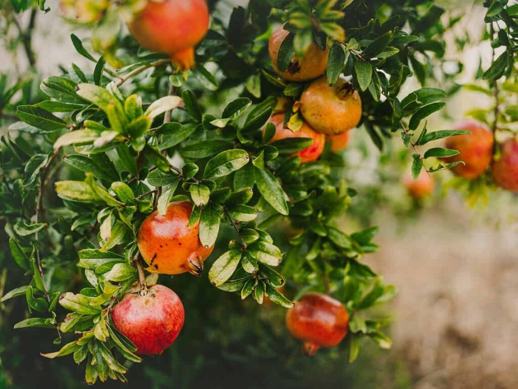 fast-growing-fruit-trees-promegranate