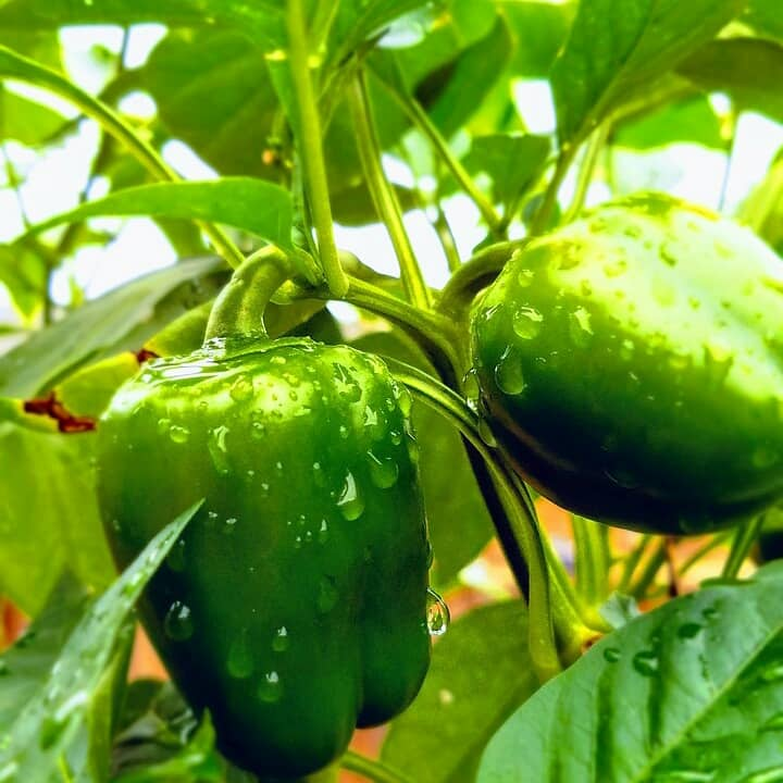 easy vegetables to grow in pots india