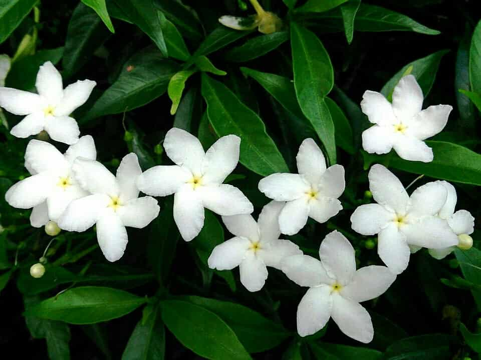 white flower plants in india