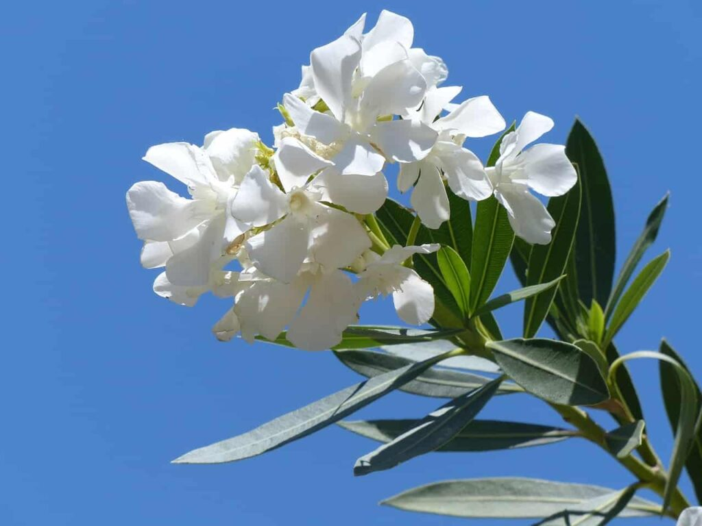 white flowering plants in india