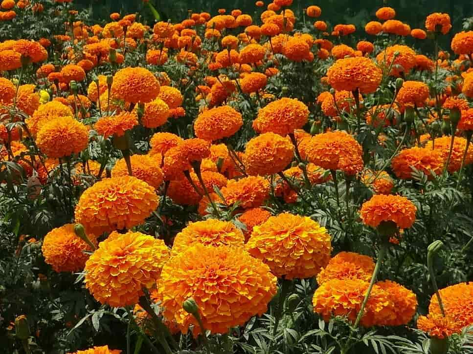 medicinal flower plants in india