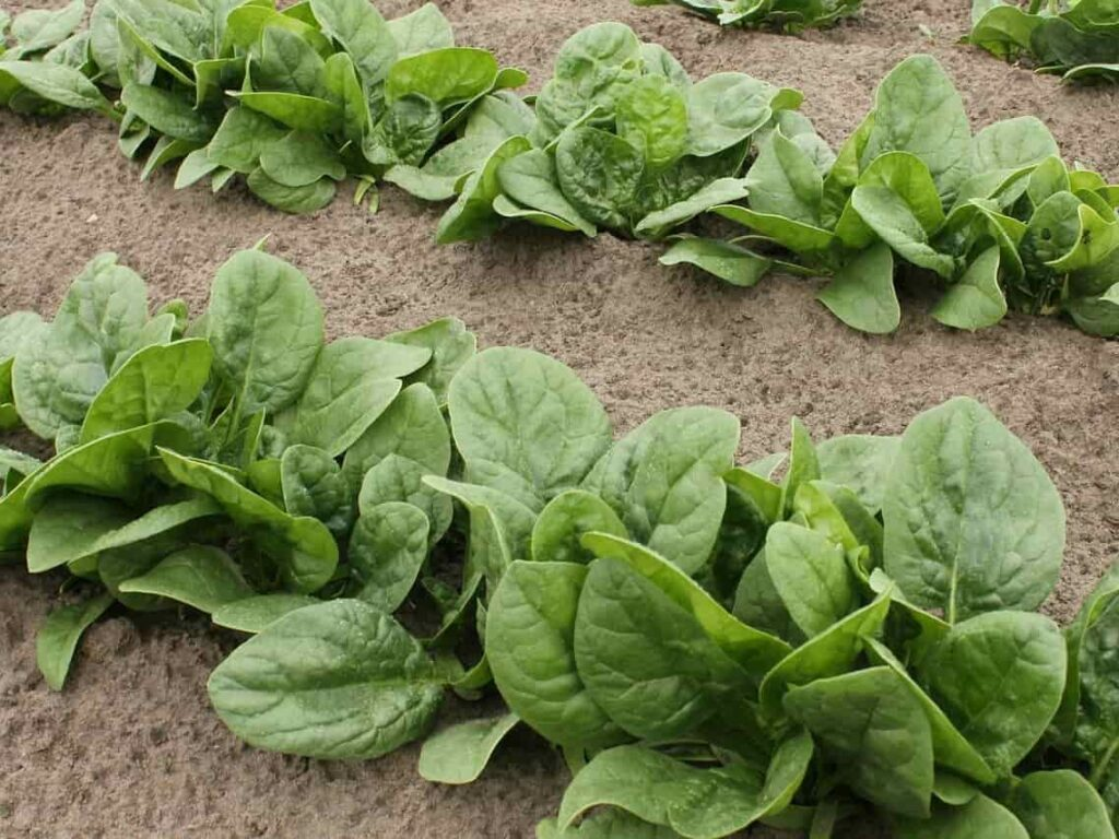 vegetables to grow in rainy season in india